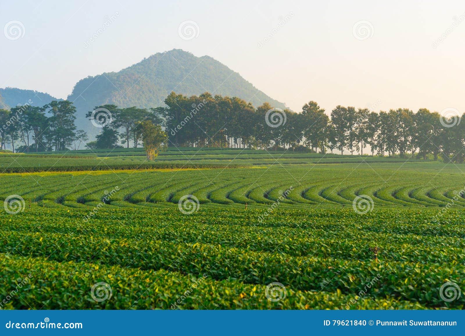 Teste padrão da exploração agrícola do chá verde com fundo da montanha, Chiang Rai