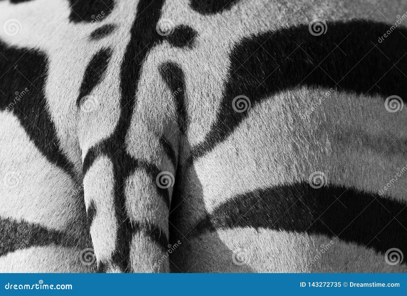 Teste padrão em uma parte traseira da zebra