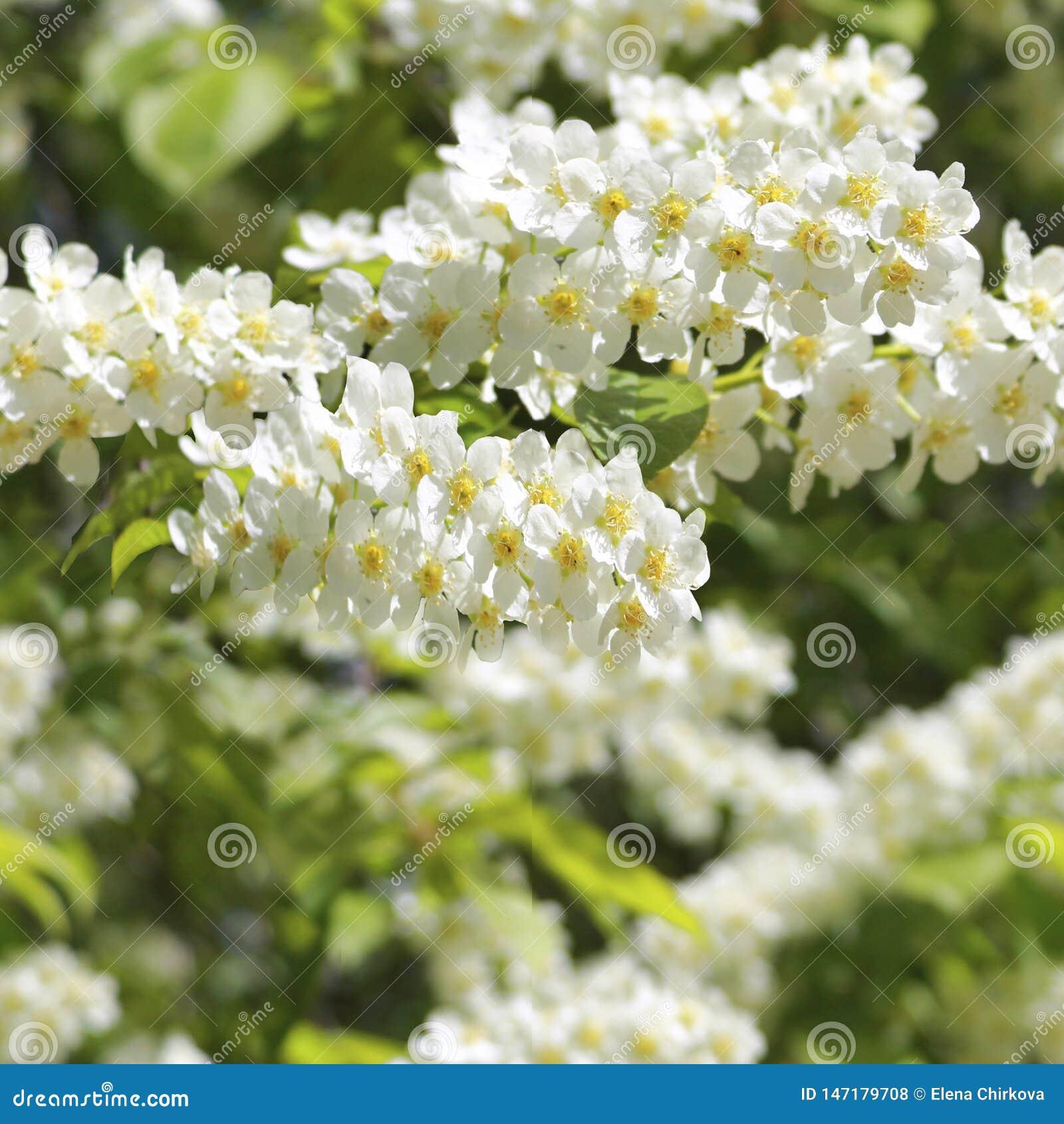Teste padrão sem emenda de florescência das flores das árvores de cereja do pássaro