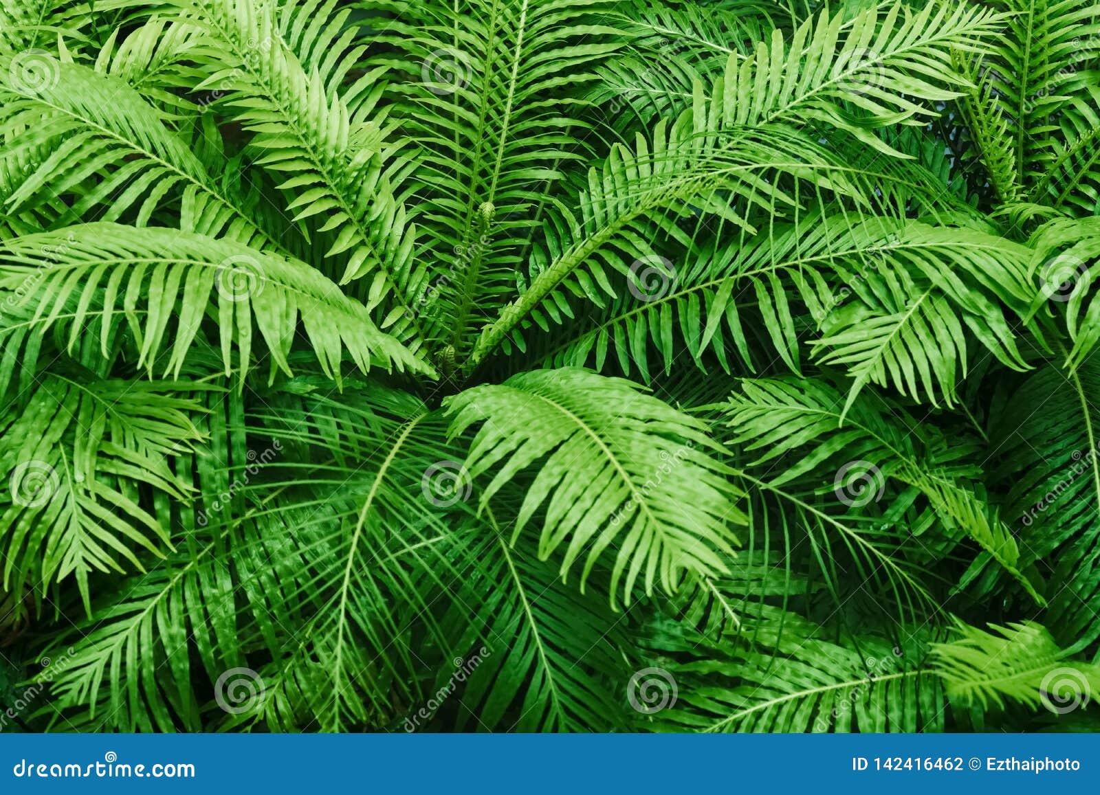 Teste padrão textured da samambaia natural A samambaia verde bonita sae do fundo Fundo tropical decorativo da floresta úmida da p