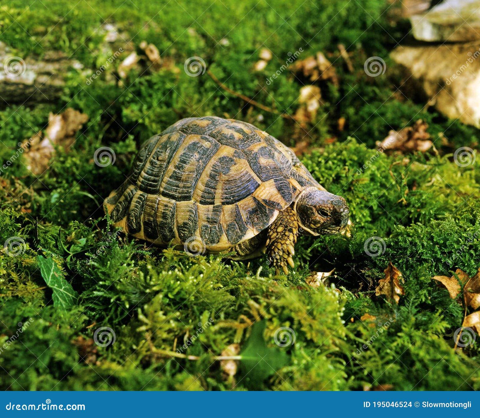 Stellung schildkröten Entstehung der