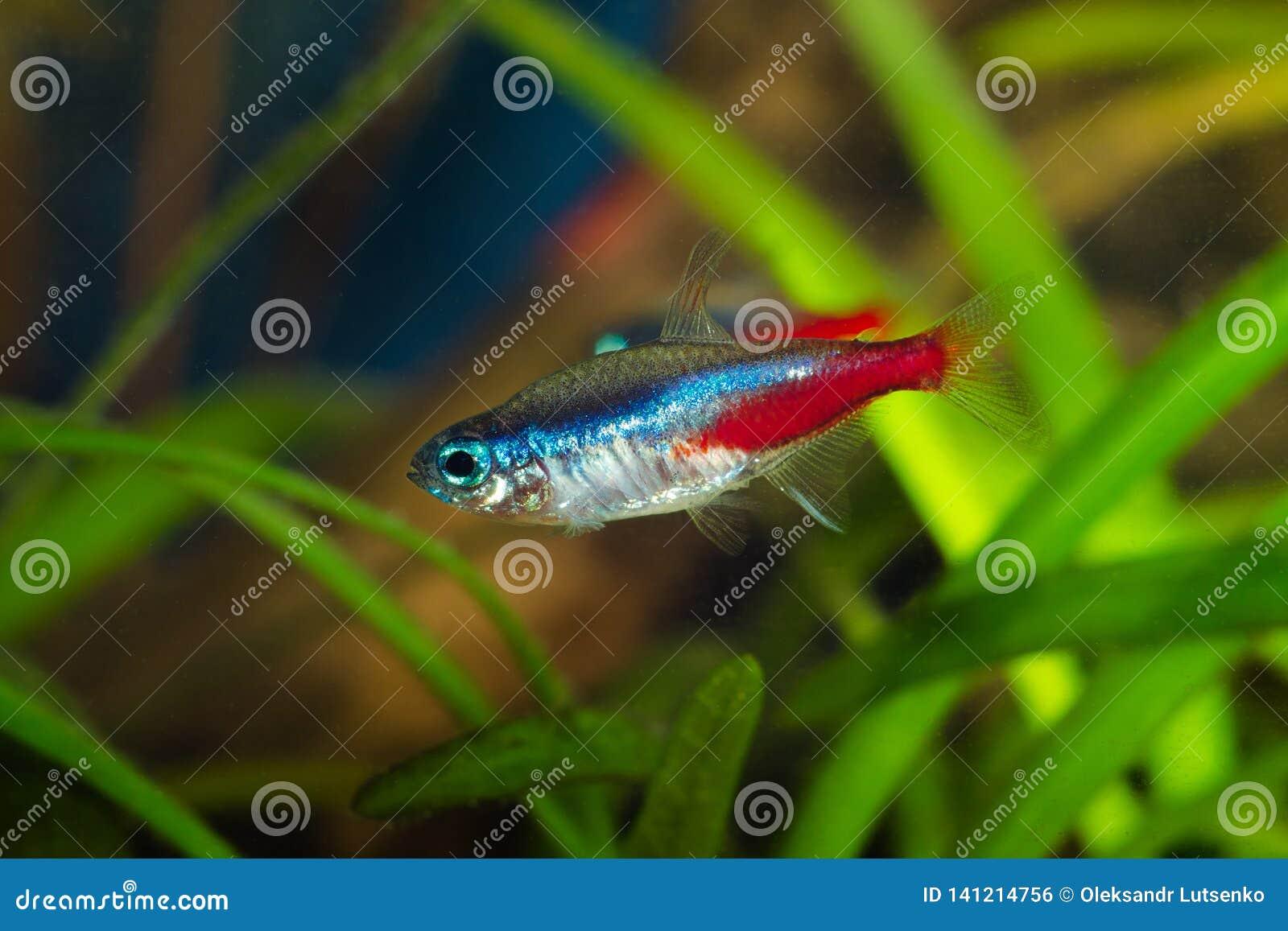 Tetra fisk för neon i akvarium