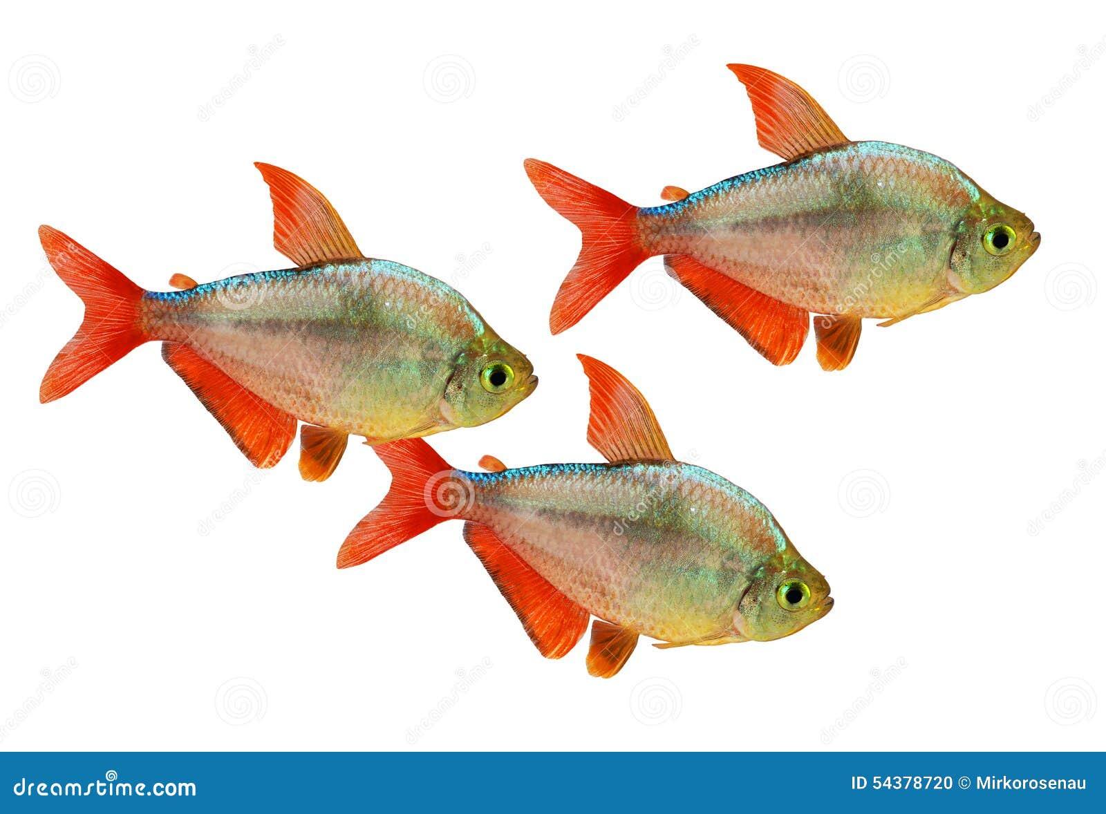 Tetra pescados colombinos Rojo-azules del acuario del columbianus de Hyphessobrycon aislados