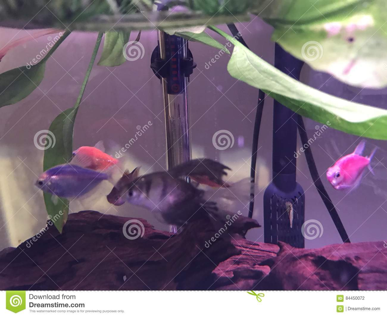 Tetras in the tank