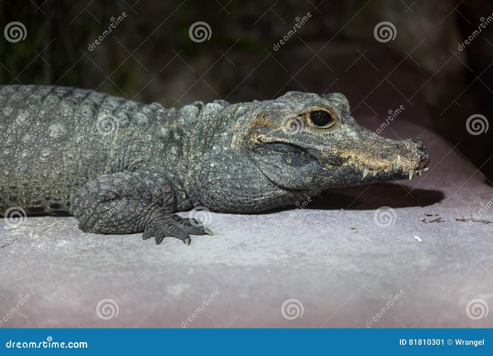 Tetraspis Osteolaemus крокодила карлика