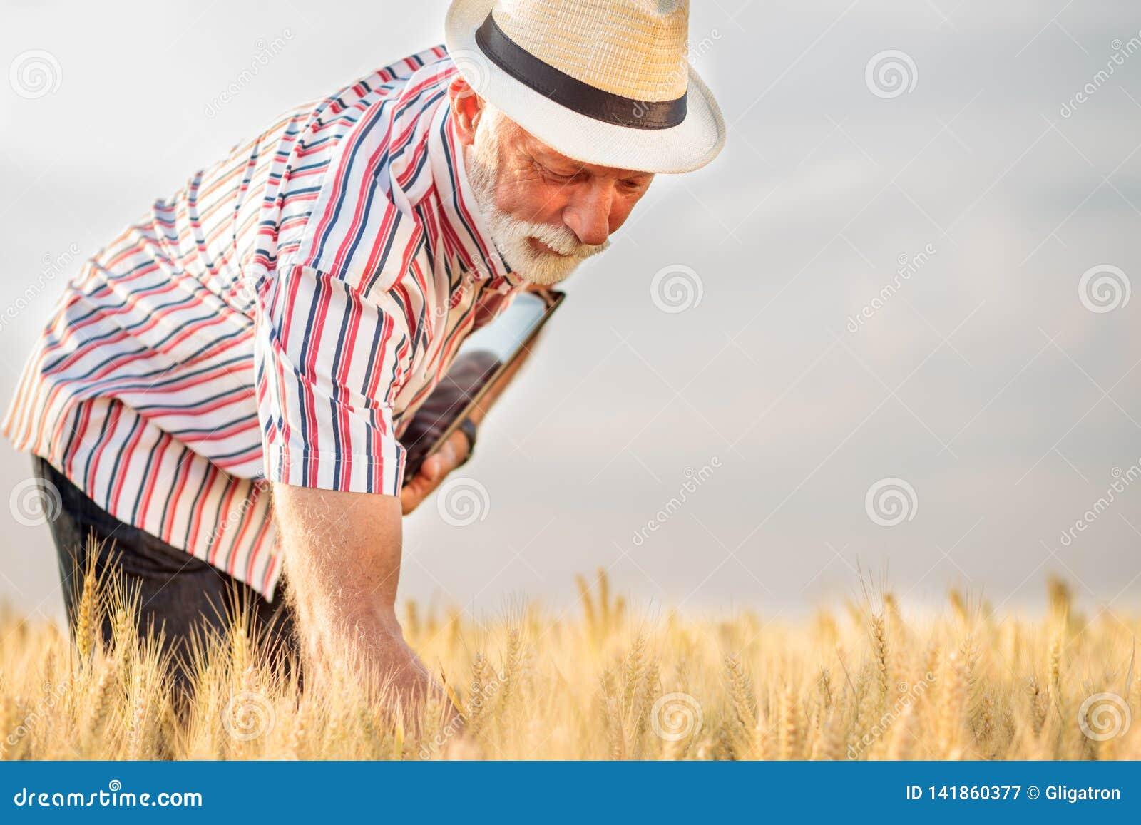 Tevreden grijze haired agronoom of landbouwer die tarweinstallaties onderzoeken vóór de oogst