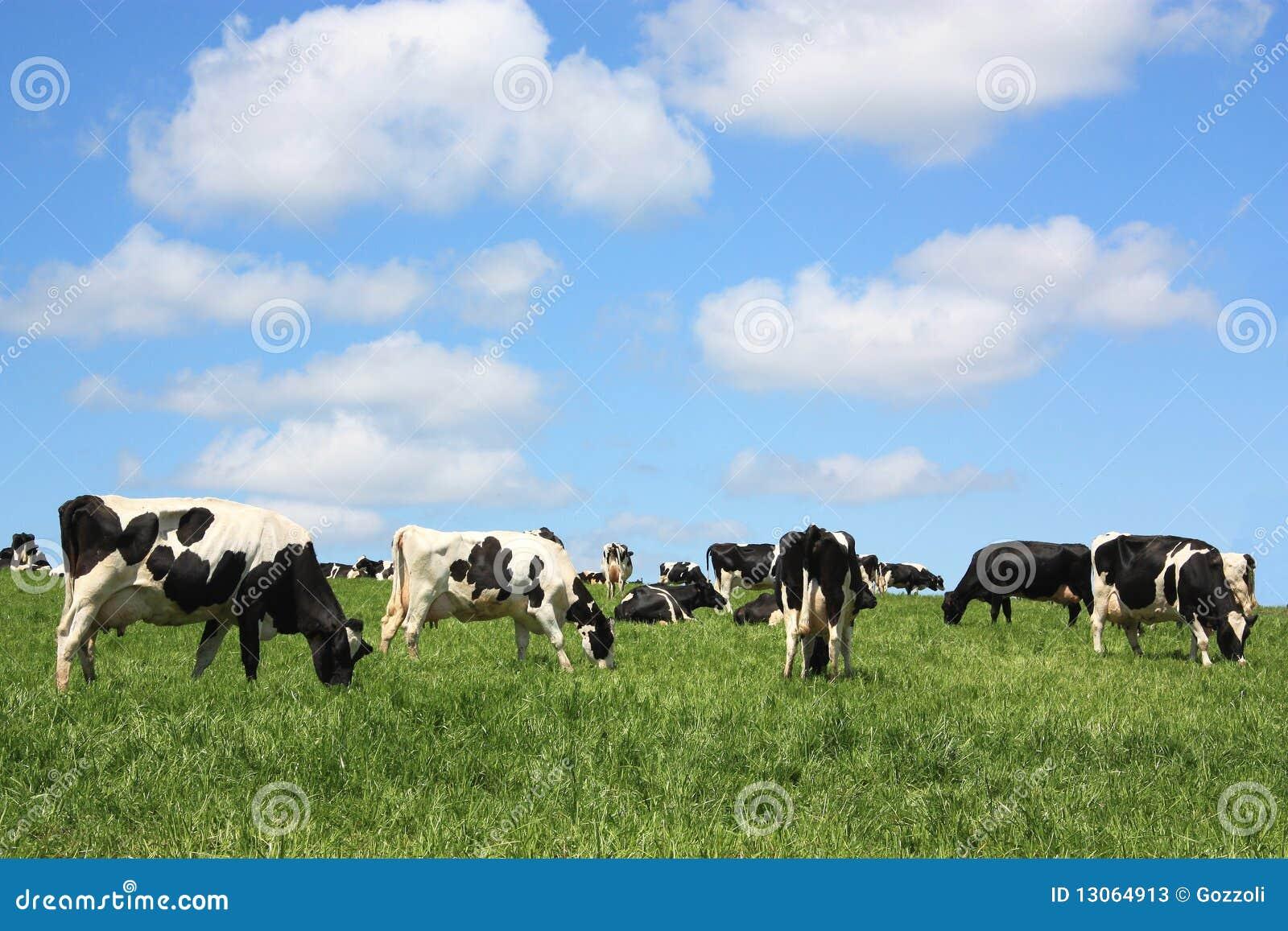 Tevreden melkkoeien