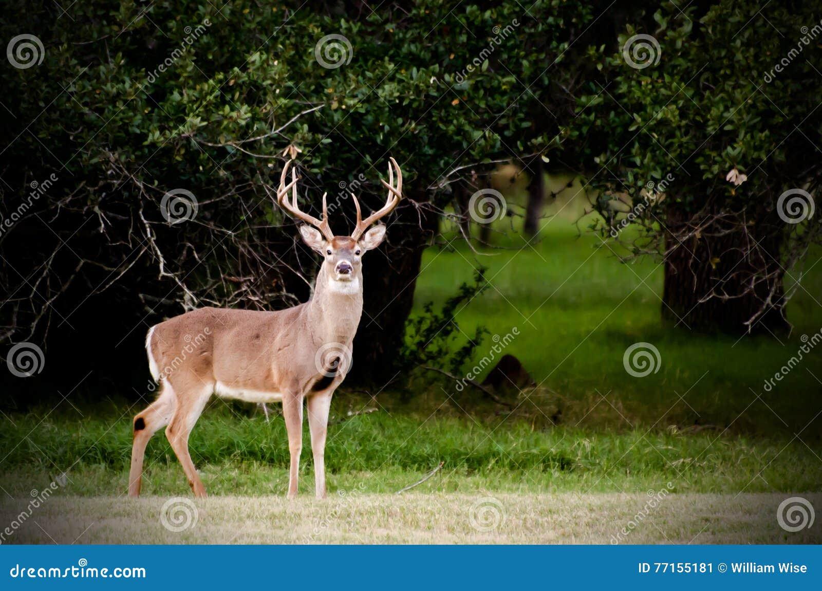 Texas Big Buck