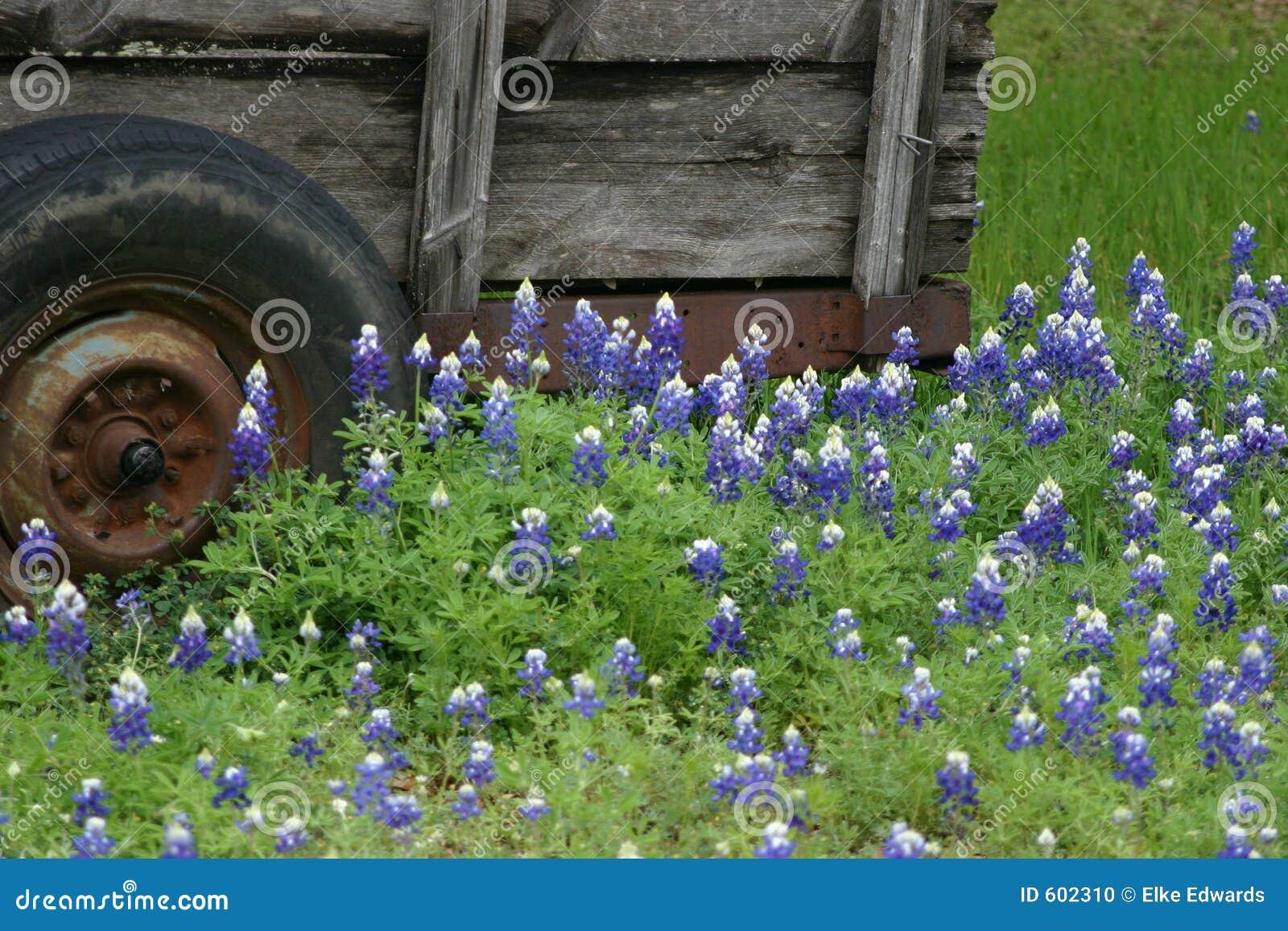 Texas Bluebonnets en Wagen