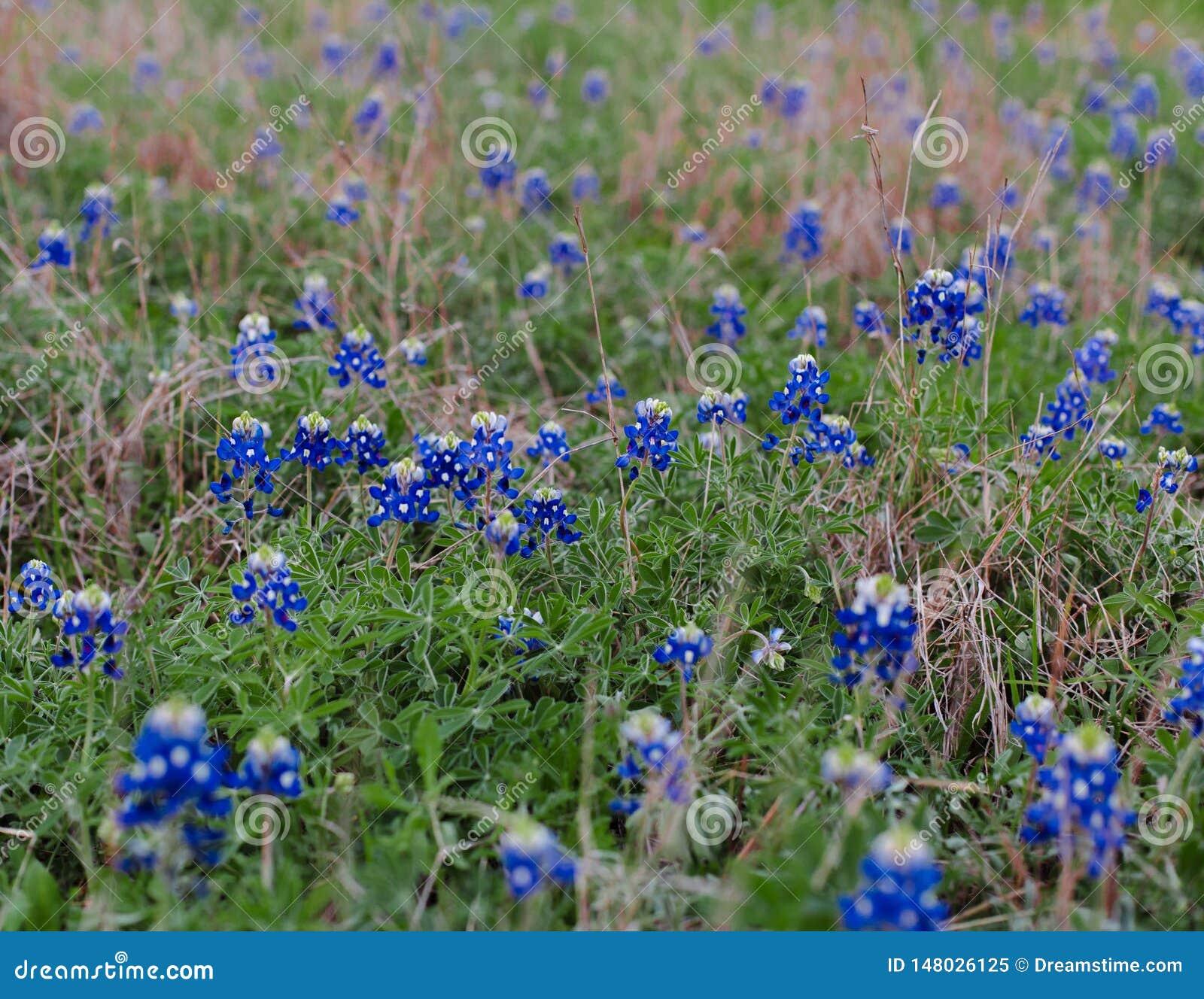 Texas Bluebonnets i ett f?lt
