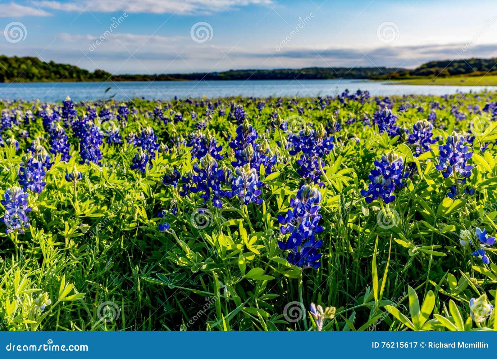 Texas Bluebonnets no lago Travis na curvatura de Muleshoe em Texas