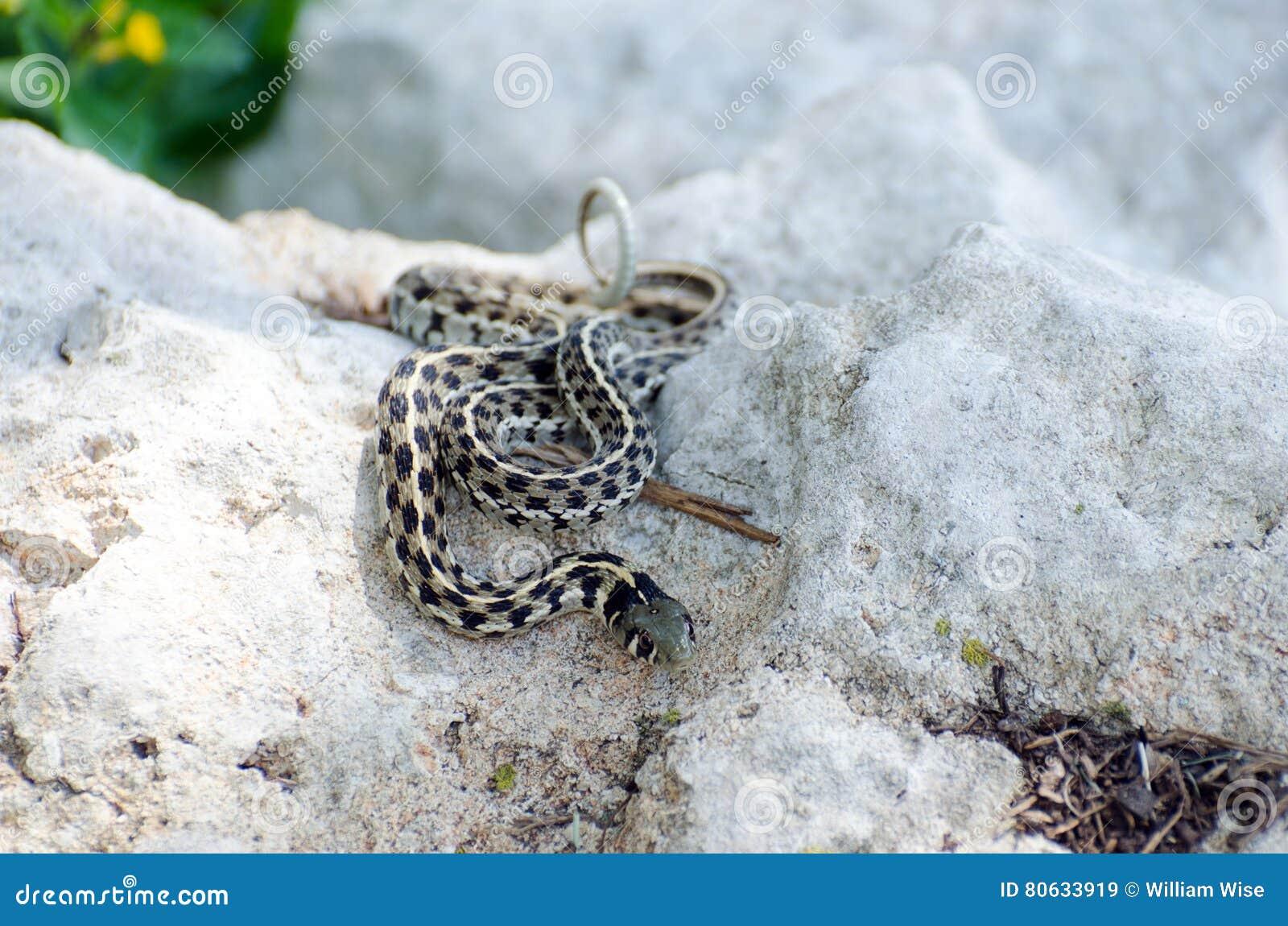 Texas Checkered Garter Snake Stock Image - Image of eden