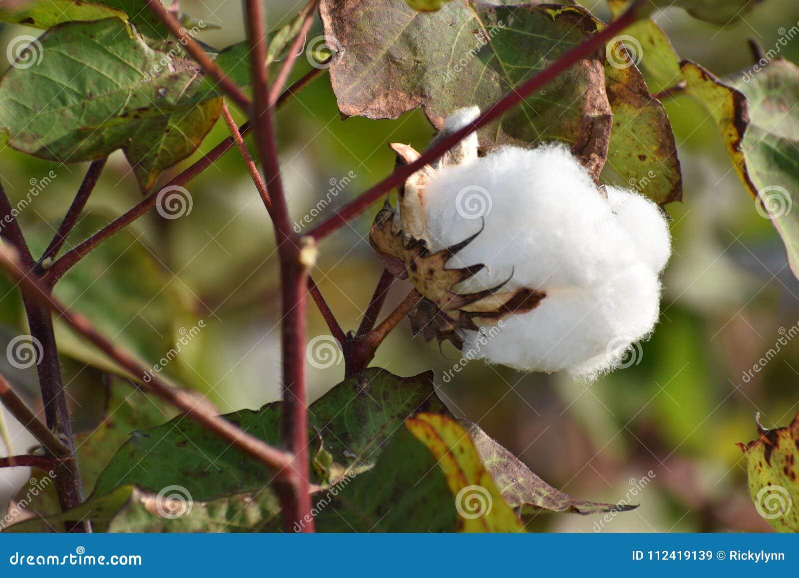 Texas Cotton do leste