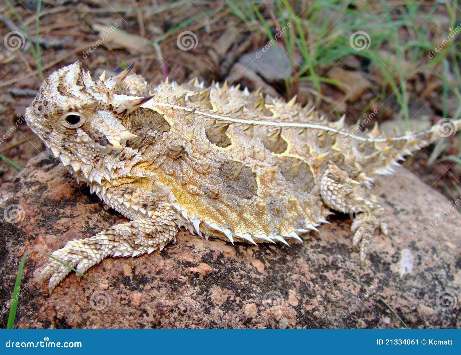 Texas Horned Lizard Horny Toad