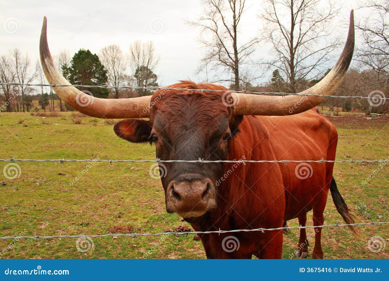 Texas Longhorn Bull Stock Photo Image Of Long Ranching