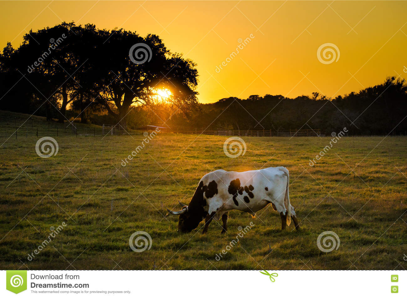 Texas Longhorn Cow au coucher du soleil, Texas Hill Country