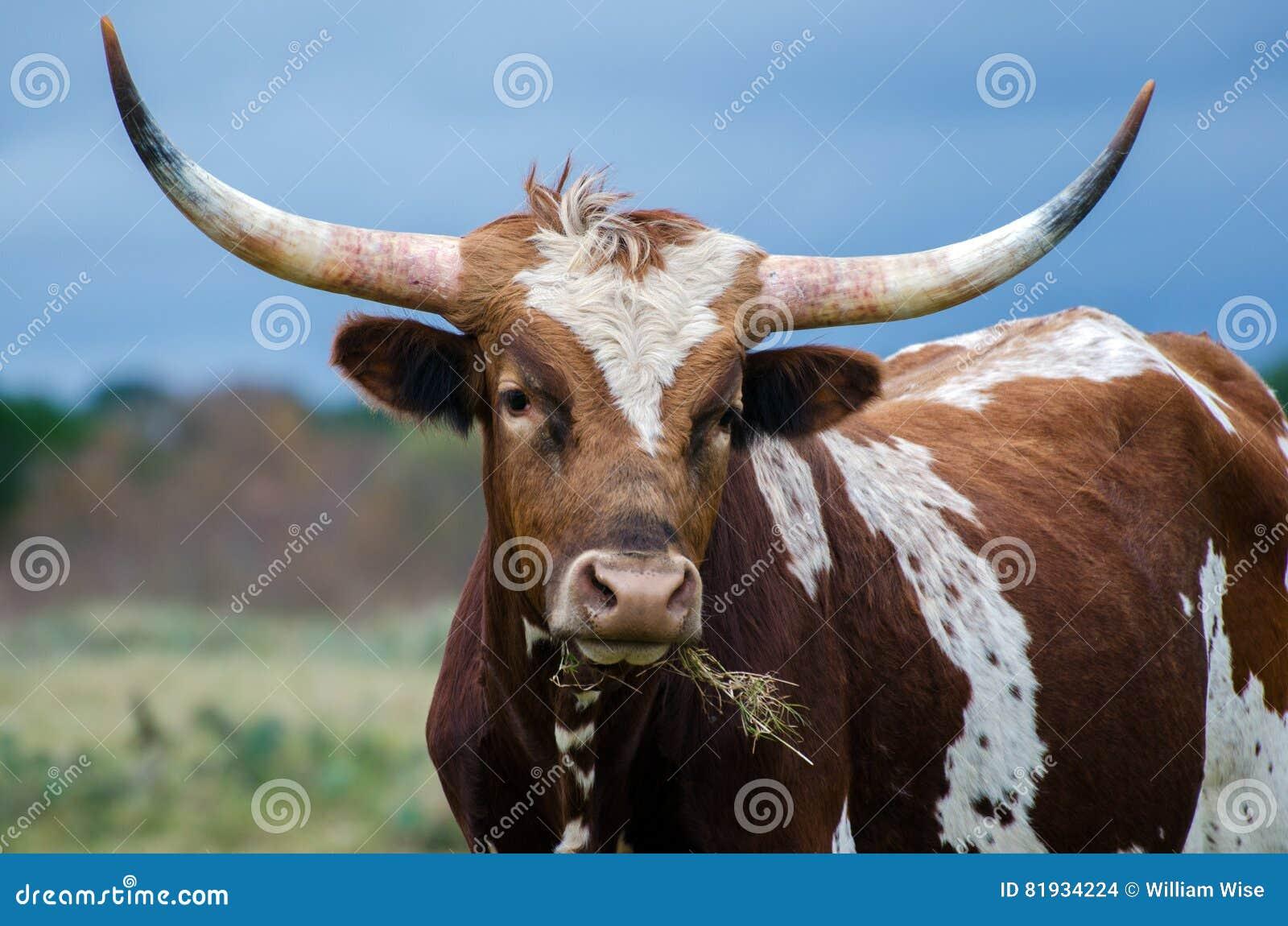 Texas Longhorn Steer, madeira lançada à costa Texas