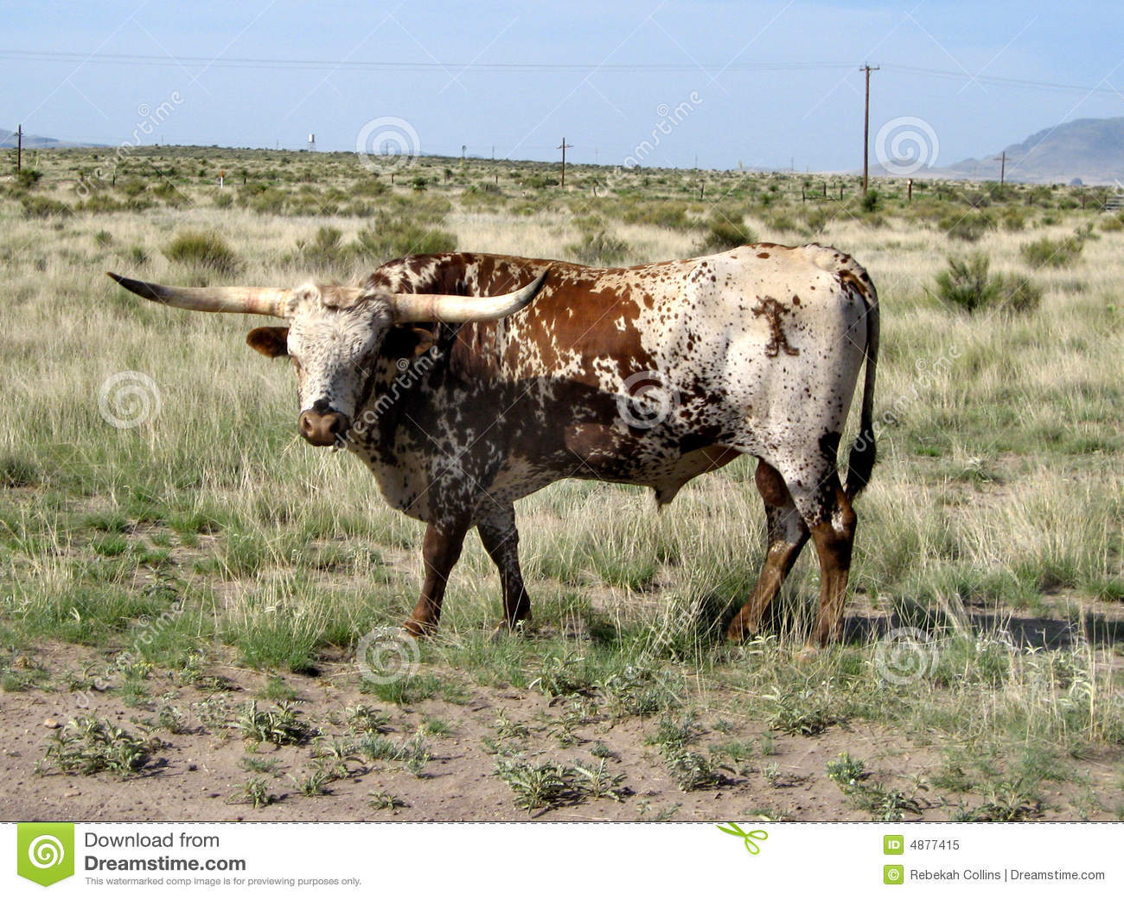 Texas Longhorn in West-Texas