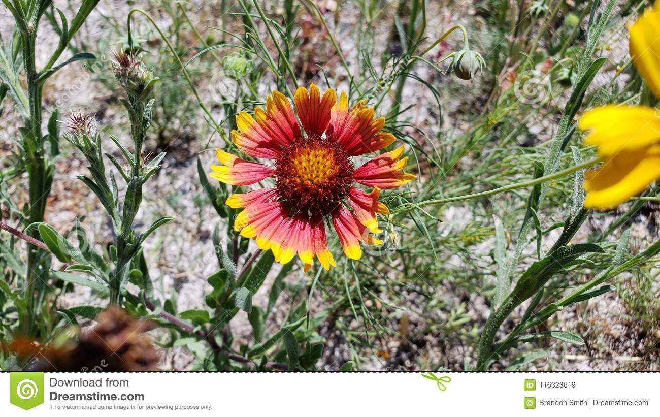 Texas Native Flowers Yellow And Red Stock Image Image Of Park