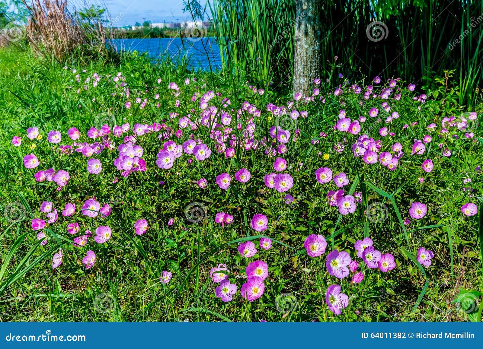 Texas Pink Evening ou Wildflowers voyants d oenothère biennale (Oenot