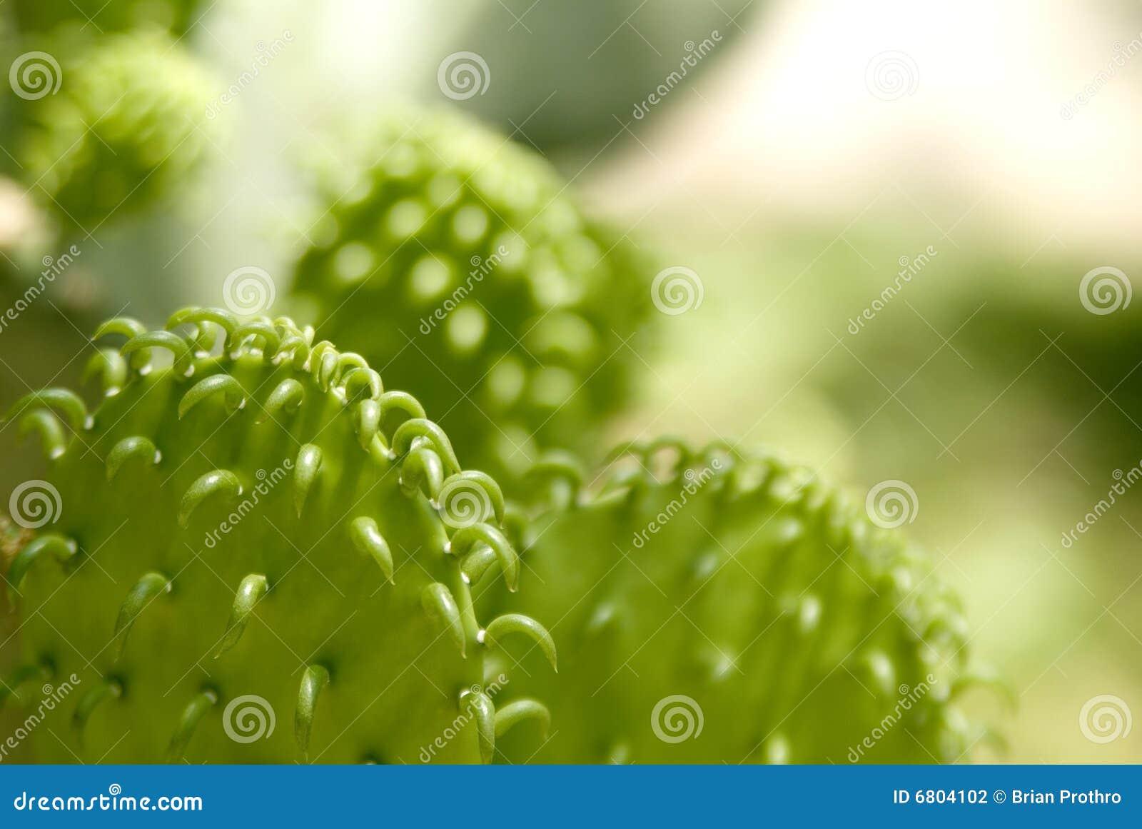 Texas-Schätzchen-Kaktus