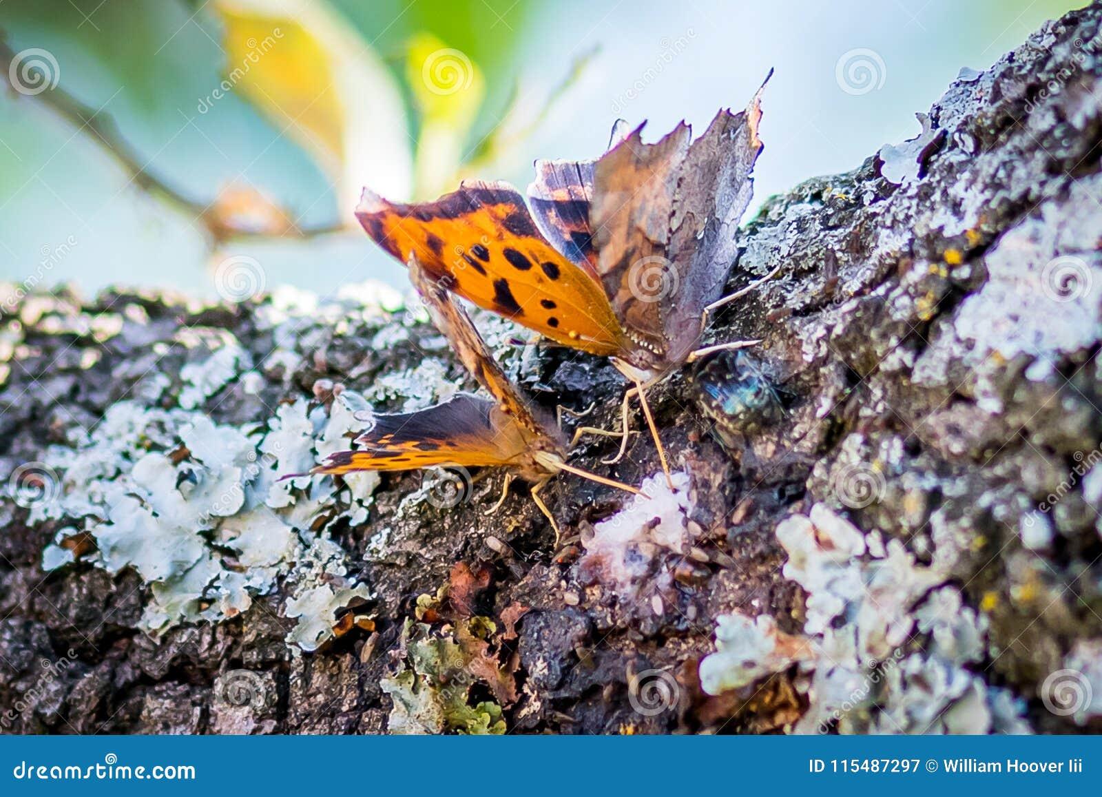 Texas Spring-Zeit Schmetterlinge, die Schlamm trinken, schmelzen von einer Eiche