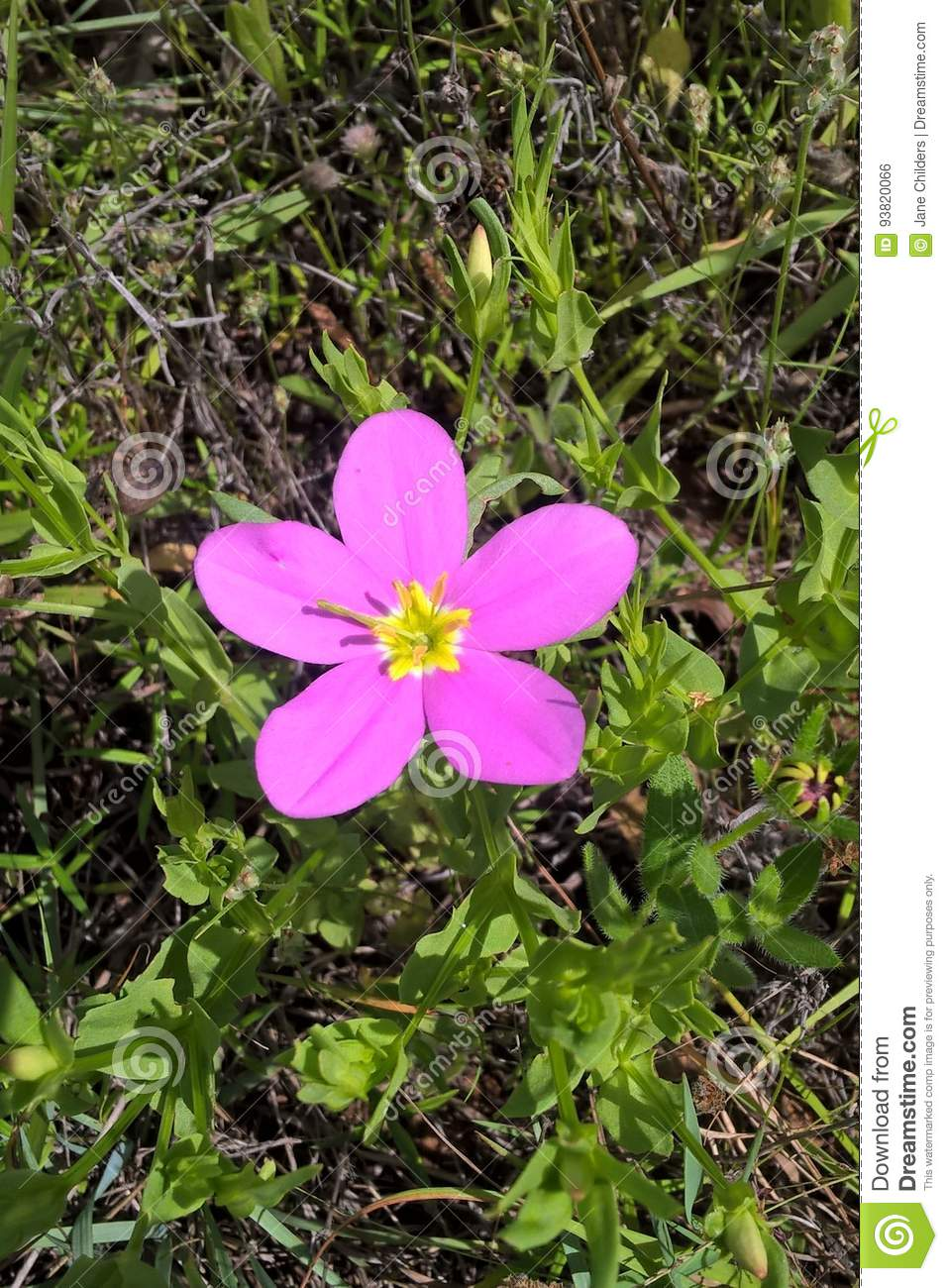 Texas Star Flower Stock Photo Image Of Perennial Bloom 93820066