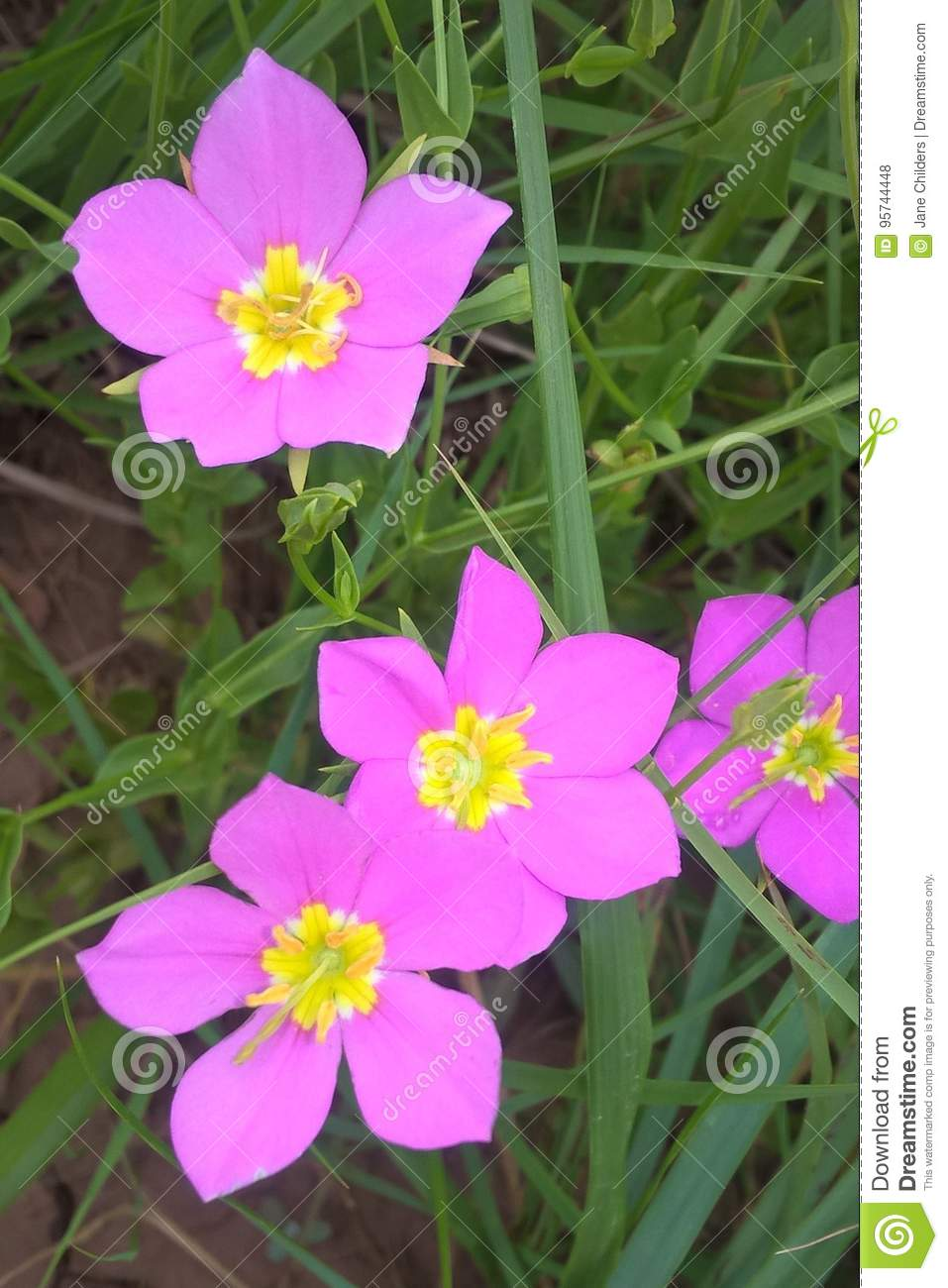 Texas Star Flower Stock Photo Image Of Gardening Landscapes 95744448