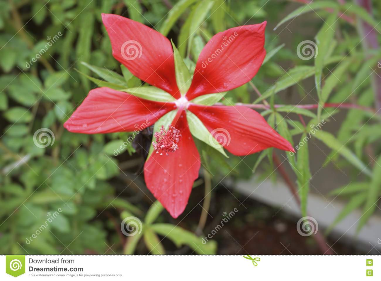 Texas Star Hibiscus Stock Photo Image Of Scarlet Leaves 78580278