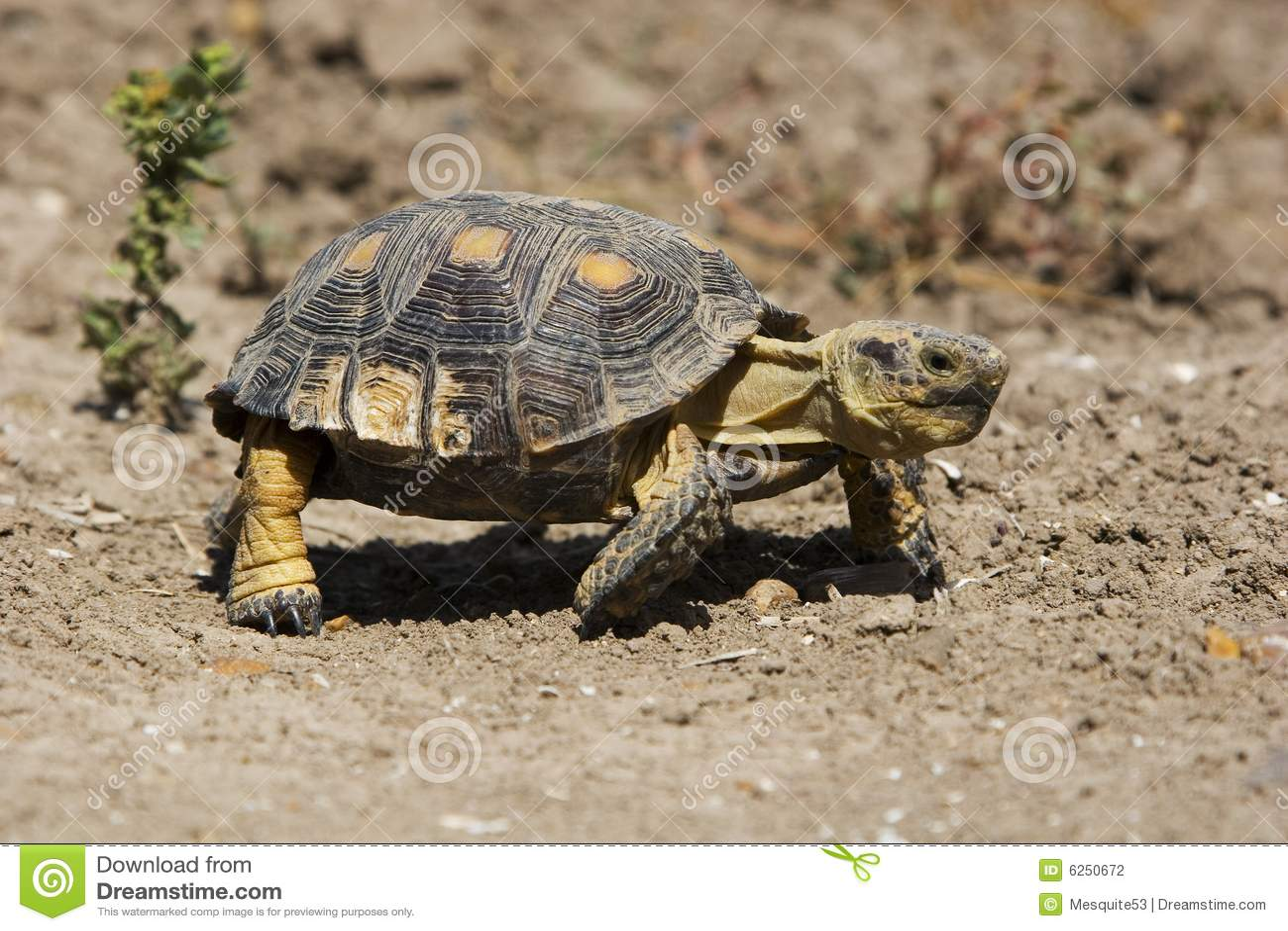 Texas Tortoise Stock Photography - Image: 6250672