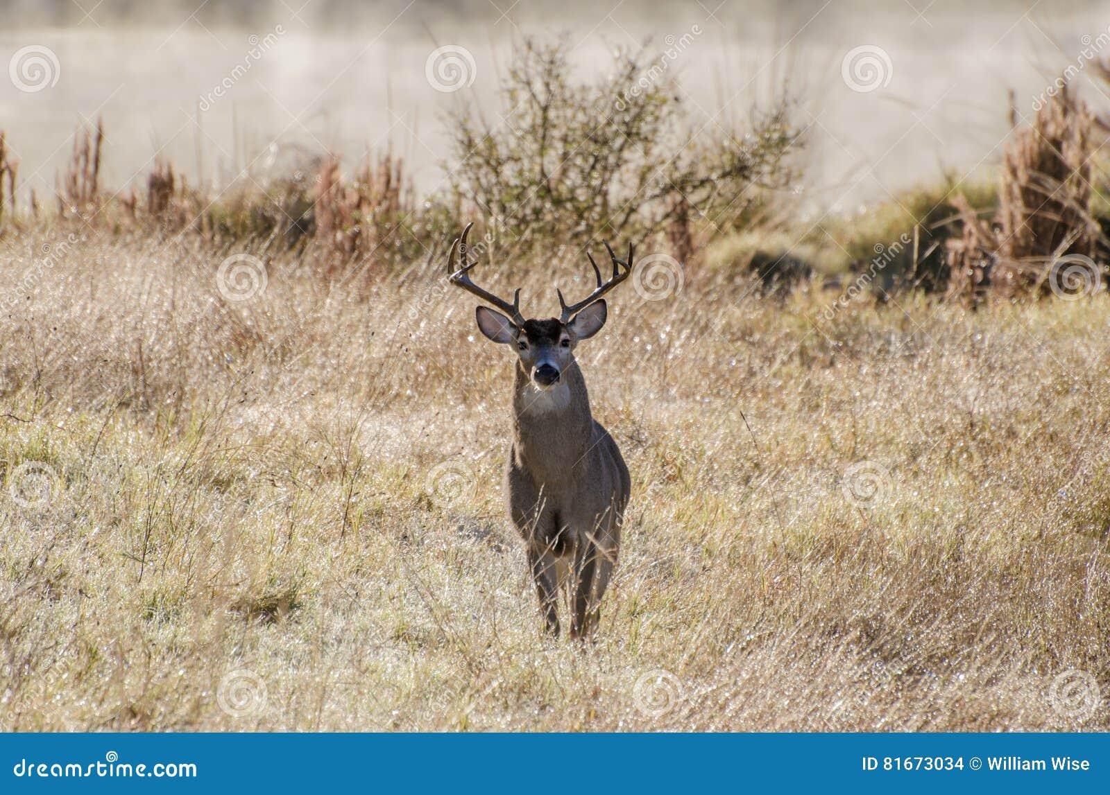 Texas White tailed Deer Trophy Antler Buck