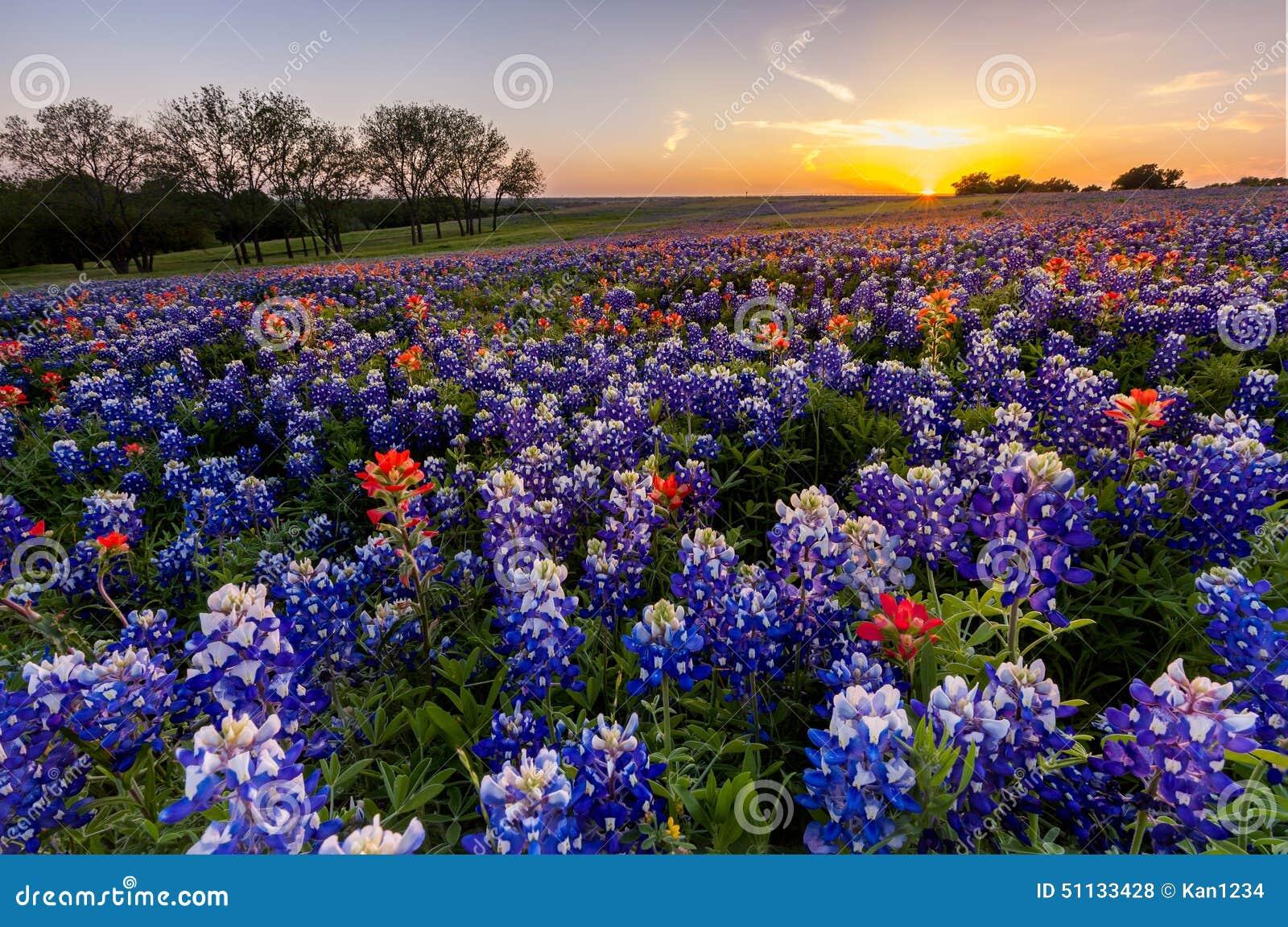 Texas-Wildflower - Bluebonnet und indischer Malerpinsel archivierten im Sonnenuntergang