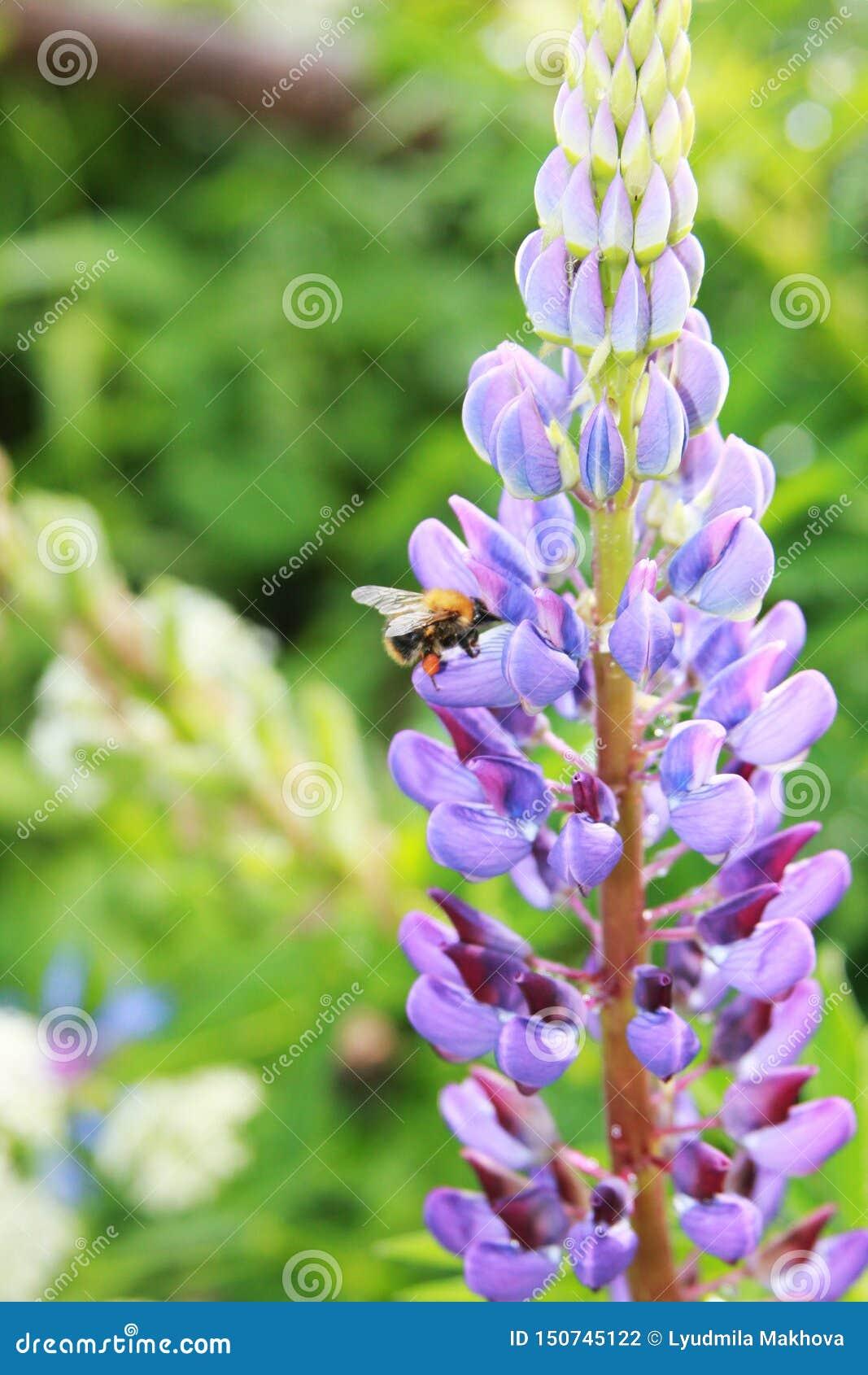 Texensis del Lupinus El abejorro recoge la miel en un lupine púrpura