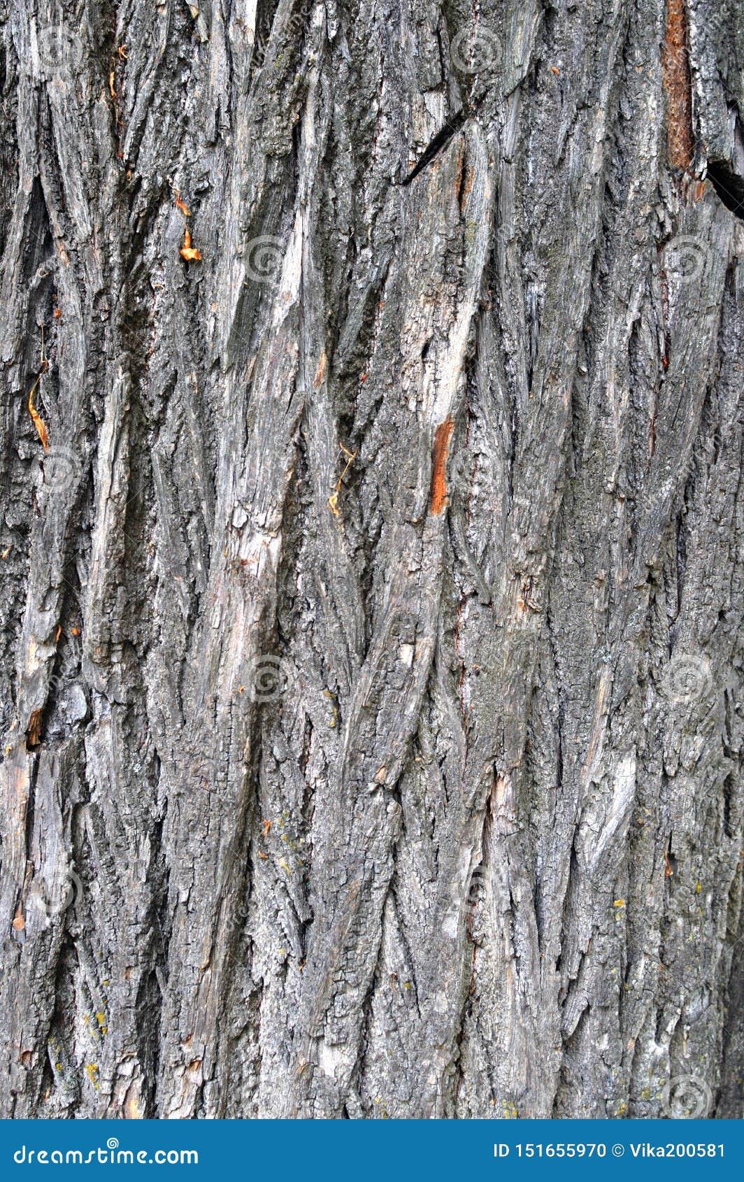 Textur av skället av ett gammalt stort träd