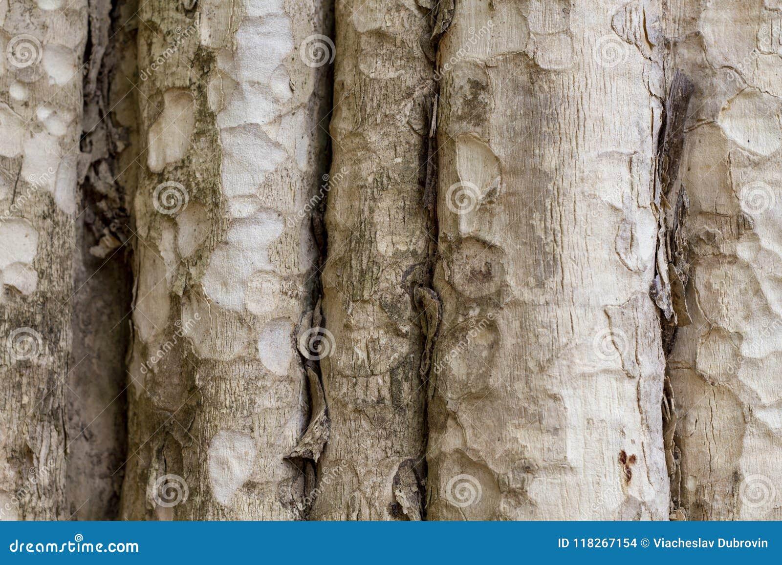 Textur för foto för trädstam naturligt trä för bakgrund Blek timmer med det red ut skället Urblekt träbakgrund