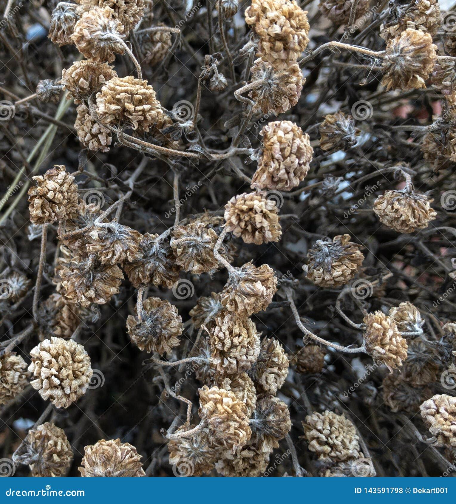 Textura colorida clara secada das flores Fundo da natureza
