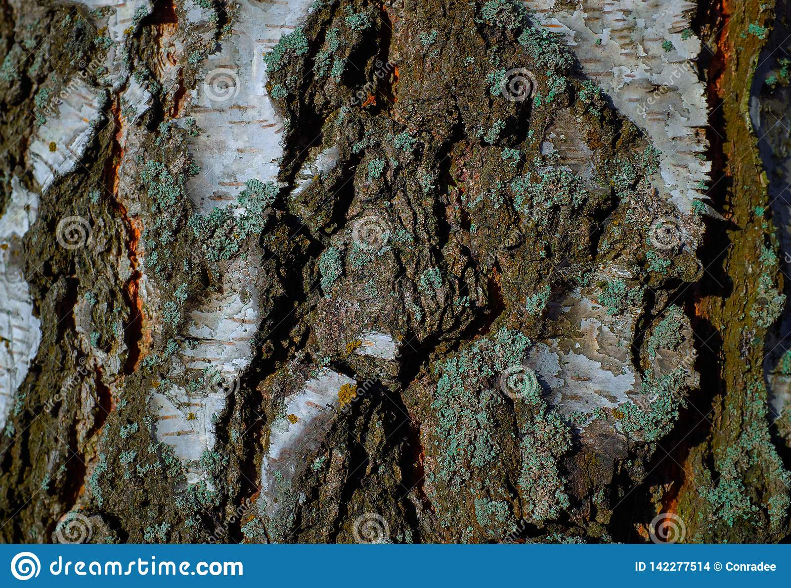 Textura colorida del árbol de corteza con el musgo azul