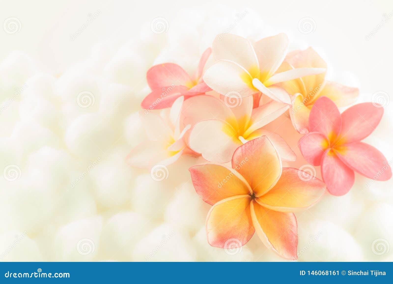 Textura colorida del papel pintado de la flor del Plumeria