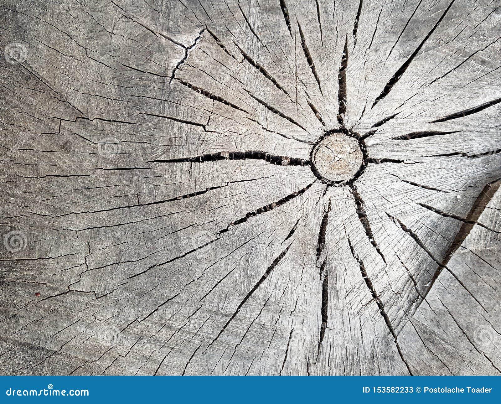 A textura da árvore velha no seção transversal Textura de madeira no marrom