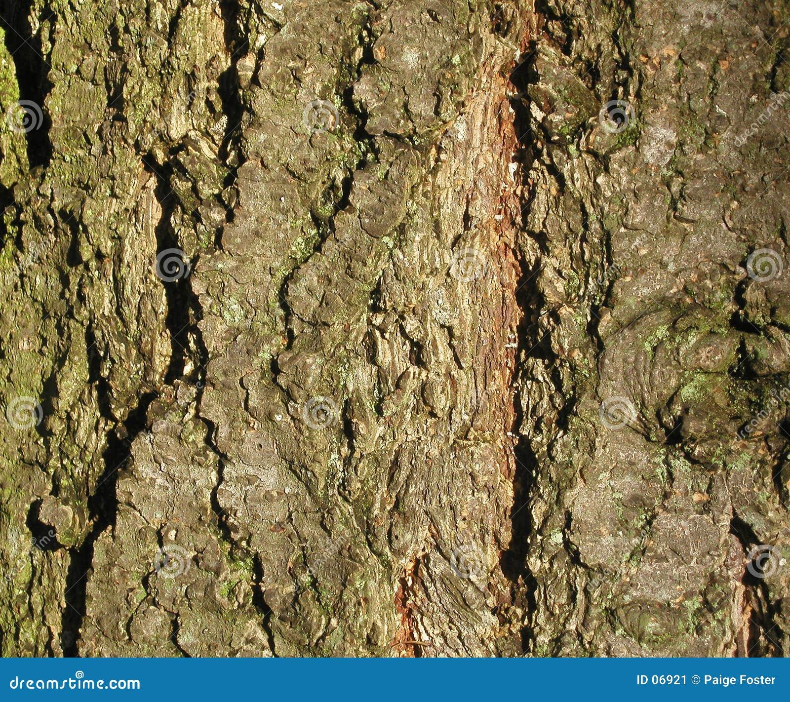 Textura da casca de árvore