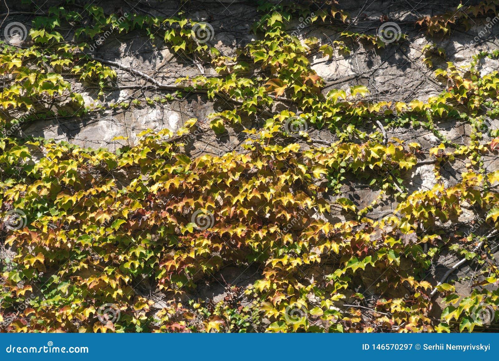 Textura das folhas da hera em uma parede de pedra, conceito de cidades velhas, casas, construções, vegetação no concreto, lugar p
