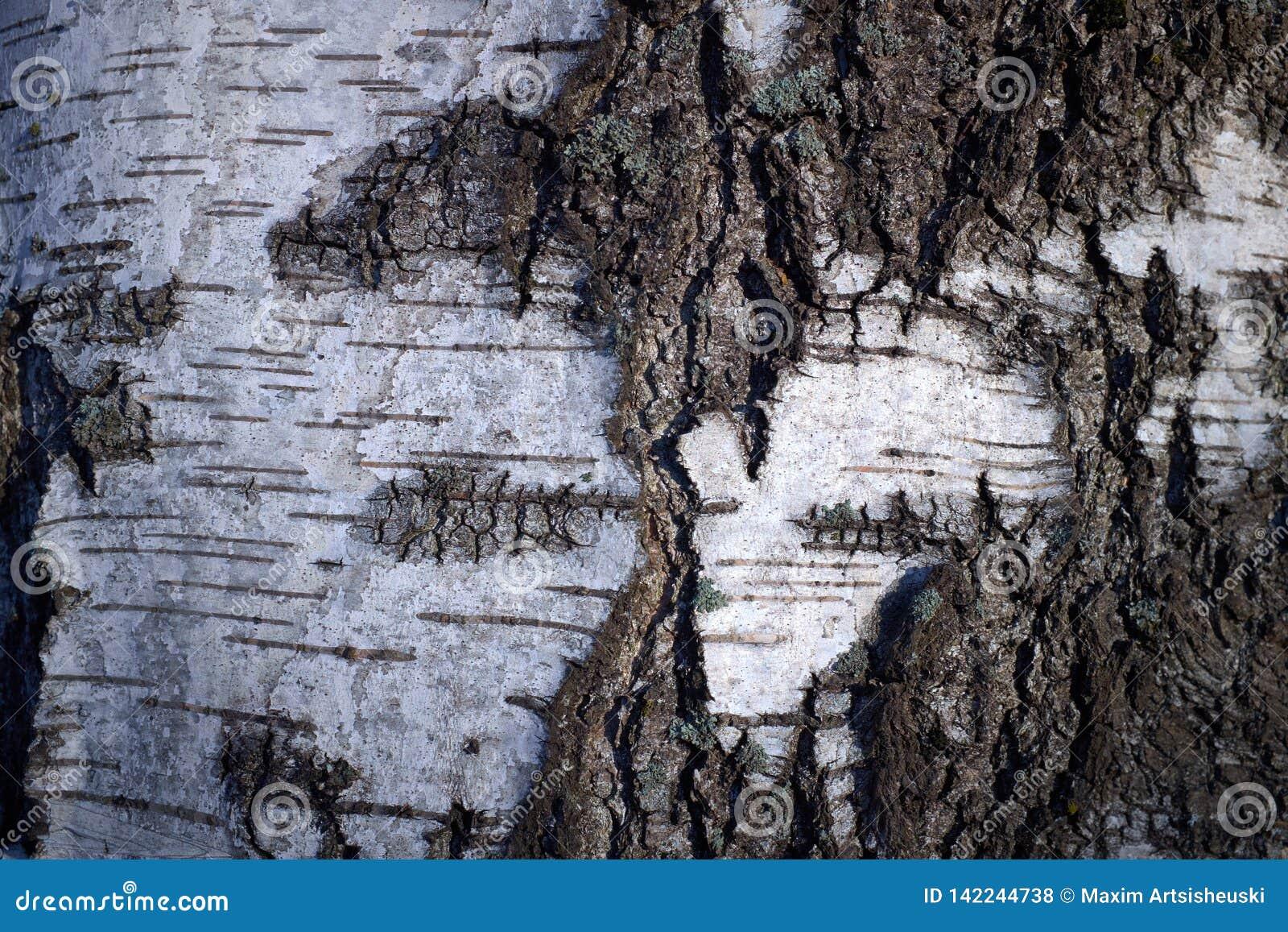 Textura de la corteza de árbol en un árbol de abedul blanco