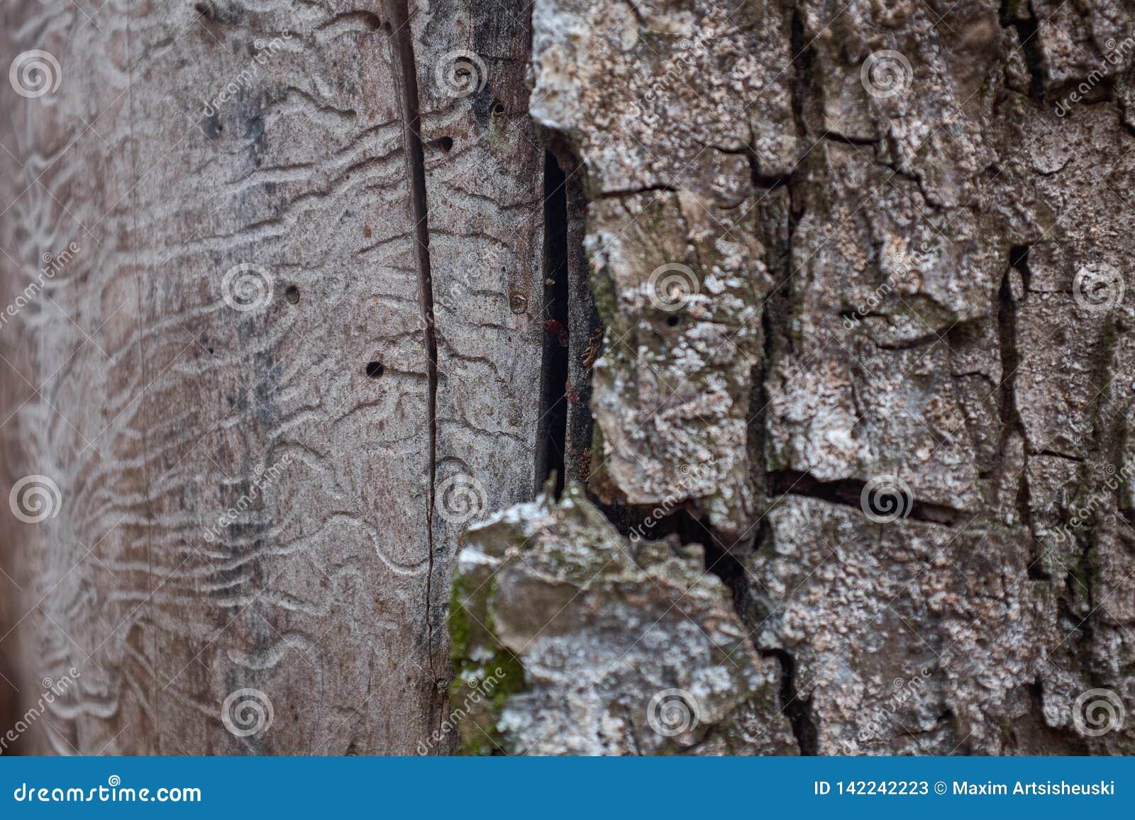 Textura de la corteza de árbol en un árbol de abedul