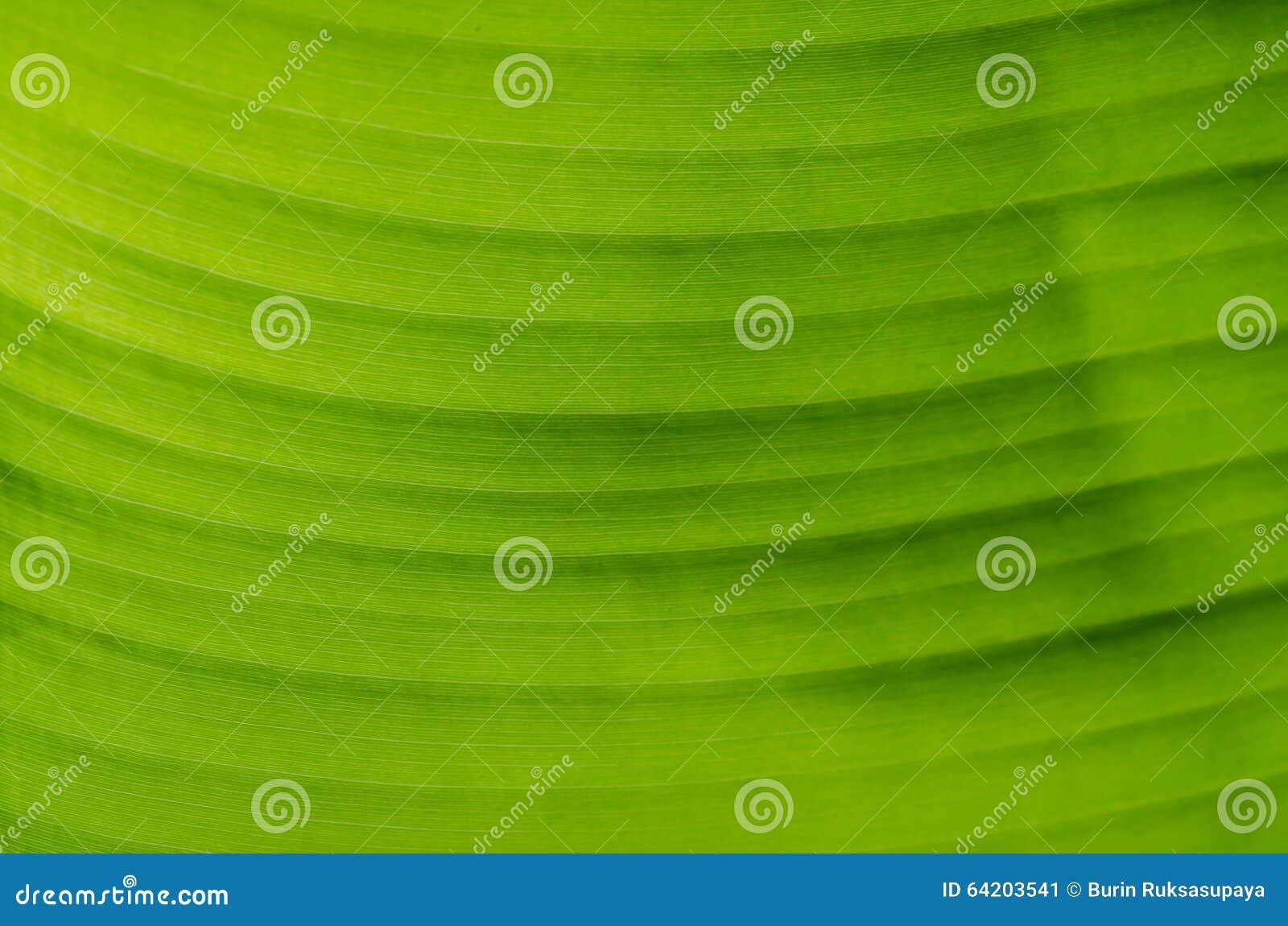 Textura de la hoja del plátano