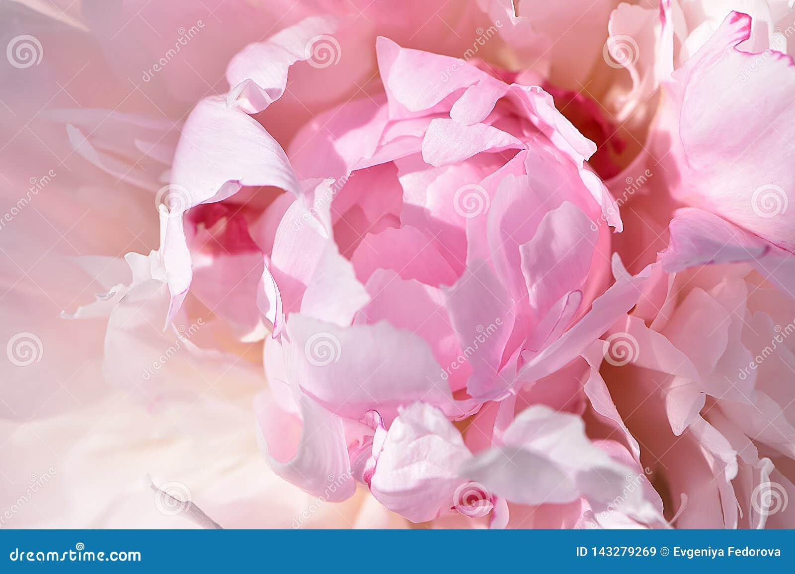 Textura de la inflorescencia rosada en colores pastel de la peonía con los pétalos del doble del terciopelo