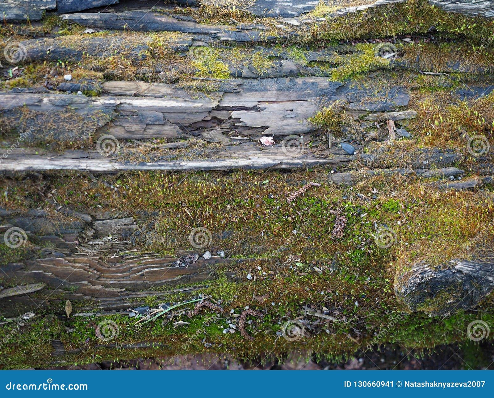 Textura de madeira de uma árvore e um musgo podre, fundo e fundação