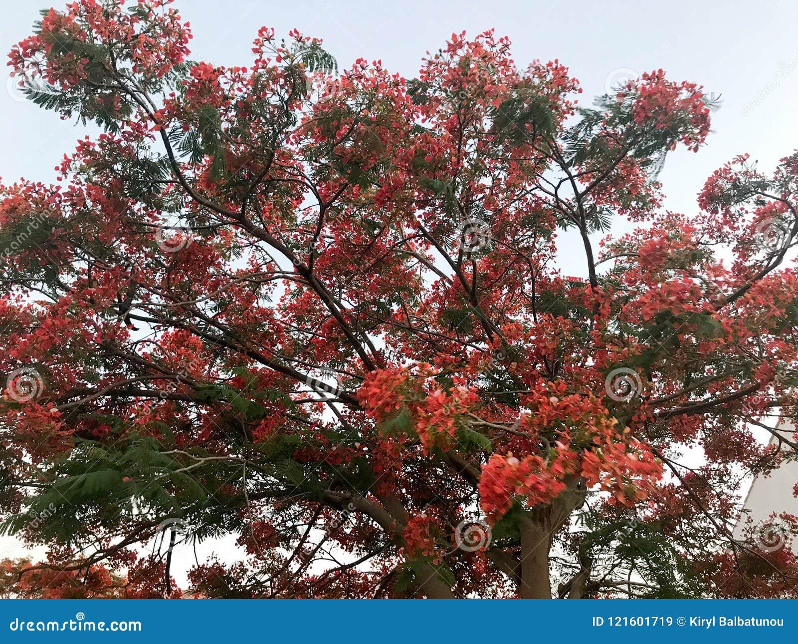 Textura De Un Arbol Ardiente Con Las Hojas Naturales Hermosas Rojas