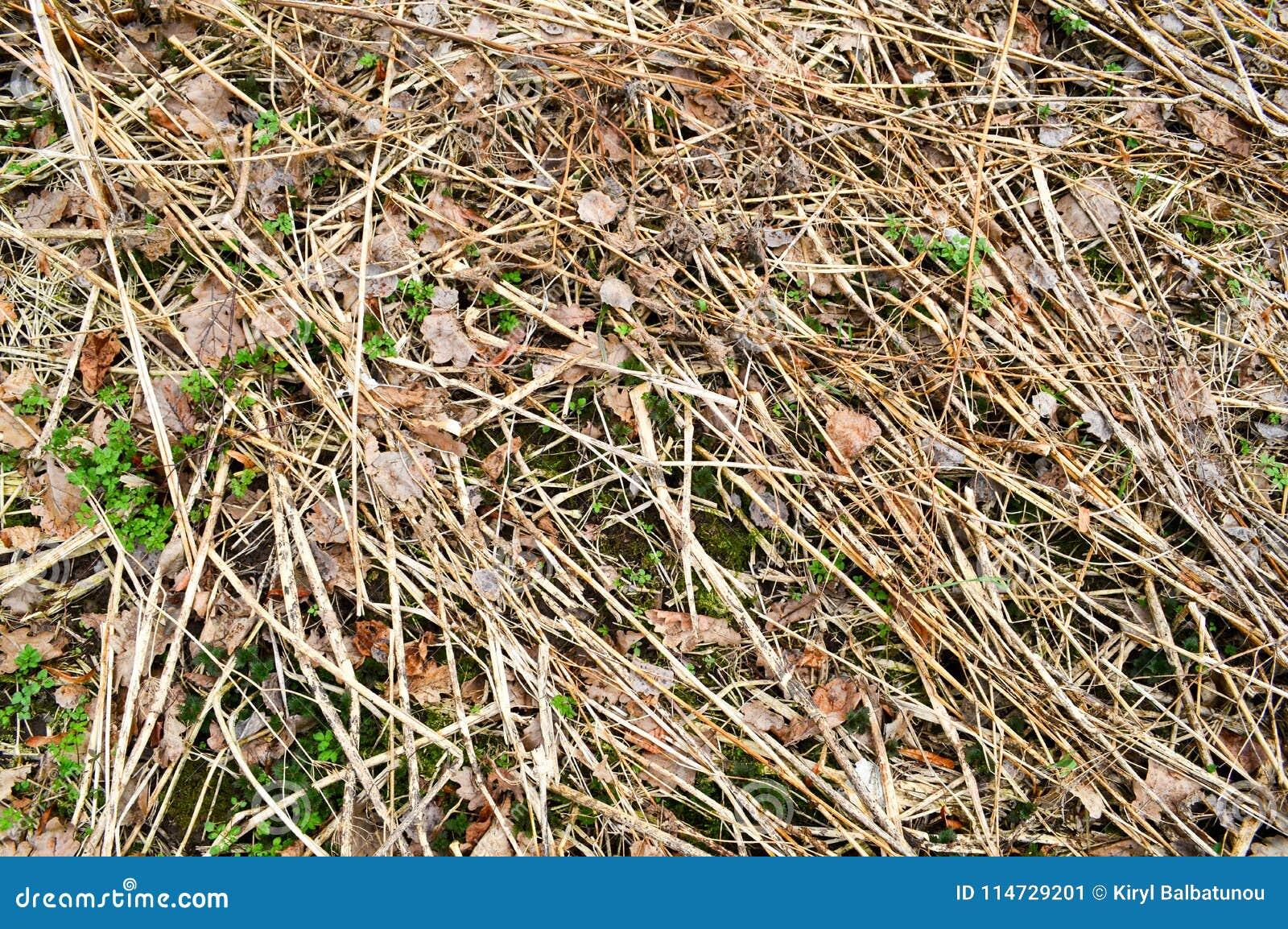 A textura de varas velhas podres velhas, ramos, palhas connosco e seca as folhas com quebras e os nós cobertos com o musgo