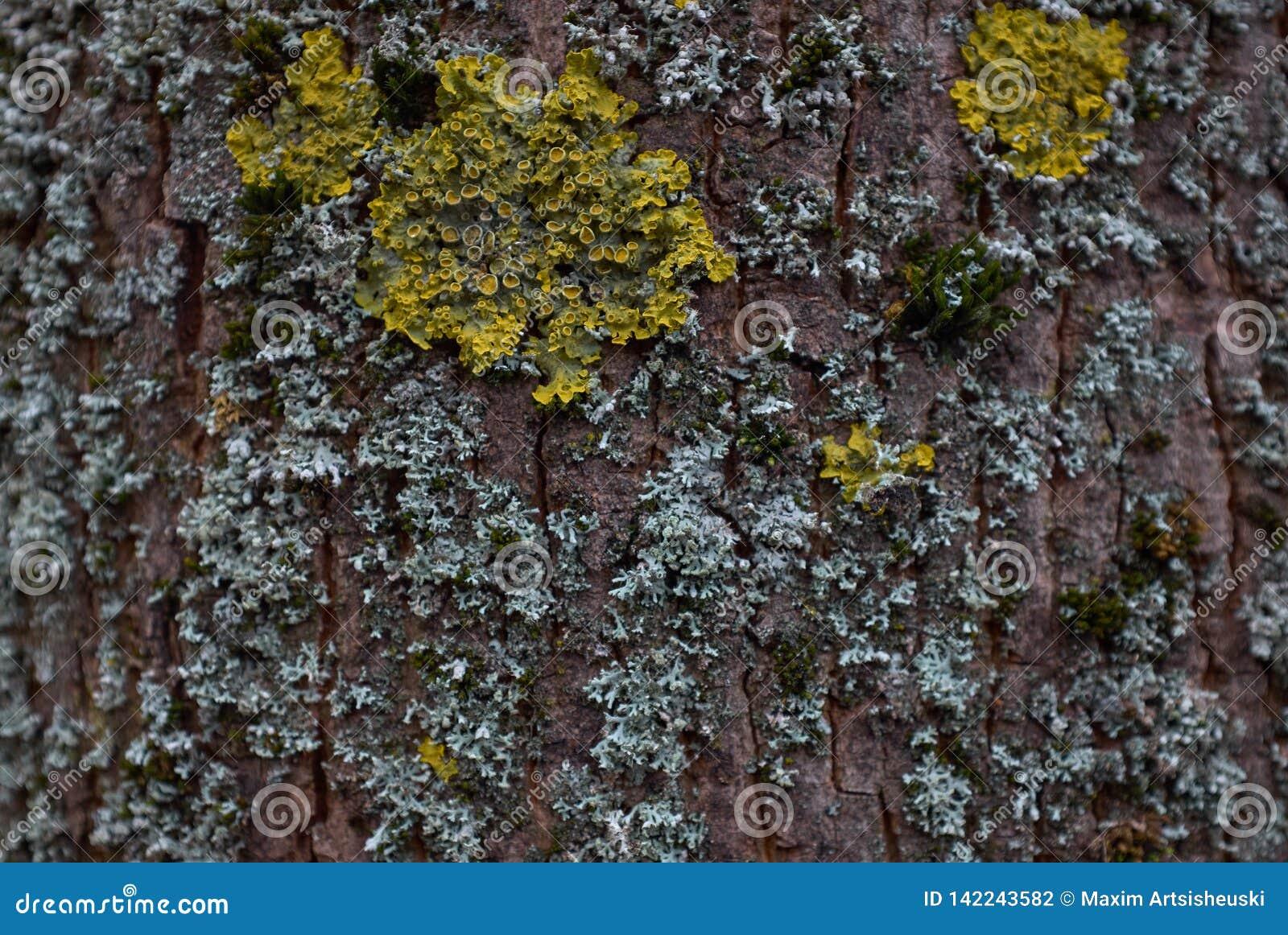 Textura del árbol de corteza con el musgo amarillo y azul