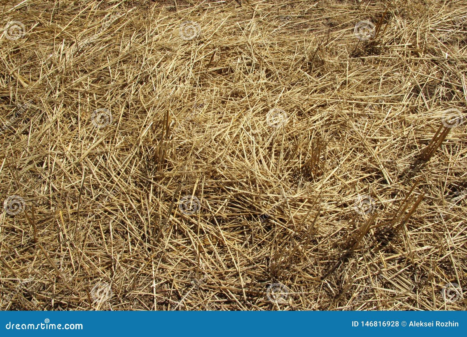 Textura del fondo Paja en un campo que se inclina en primavera